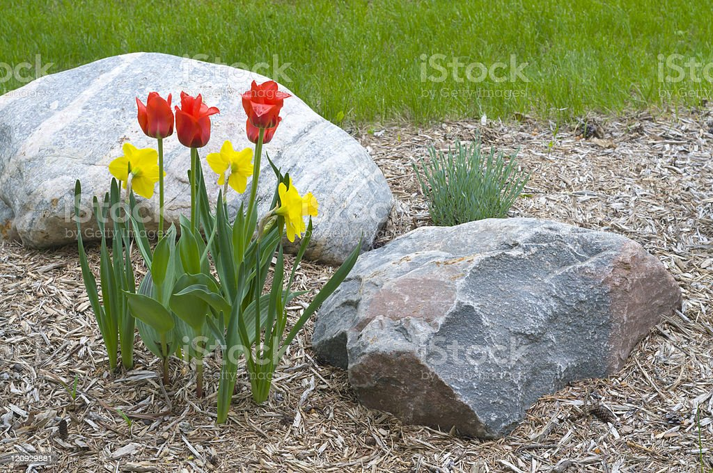 Red Tulips and Yellow Irises with Two Rocks in Garden royalty-free stock photo