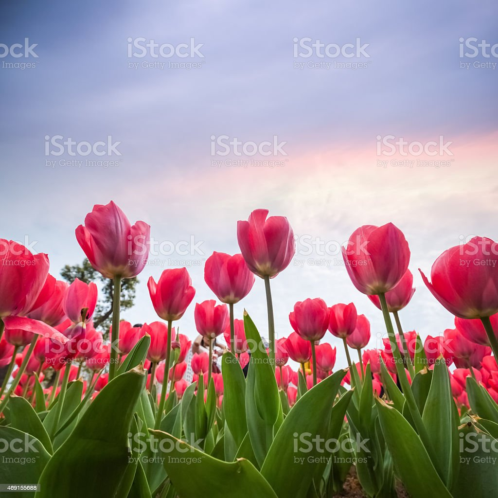 red tulips at dusk stock photo