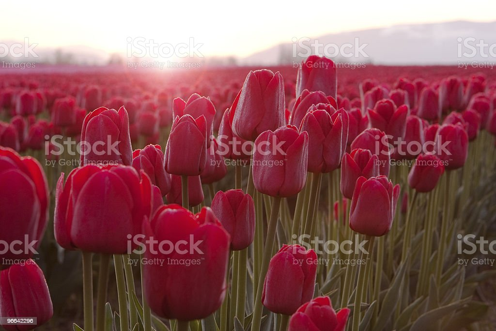 Red Tulips At Sunrise royalty-free stock photo