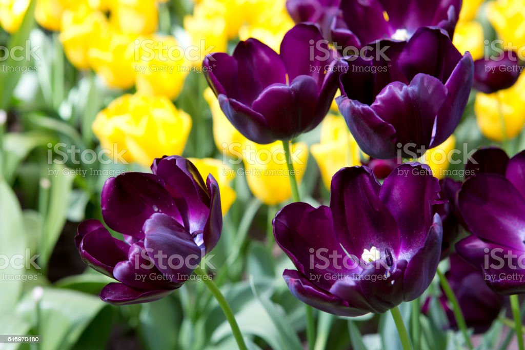 Red tulips background stock photo