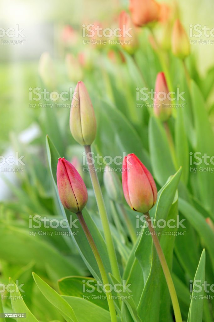 Red tulips blossomed stock photo