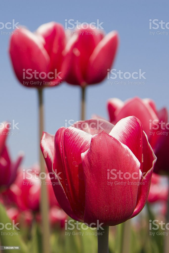 Red tulips close up royalty-free stock photo