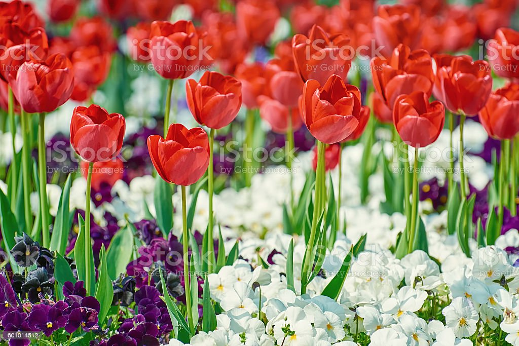 Red Tulips Flowers stock photo