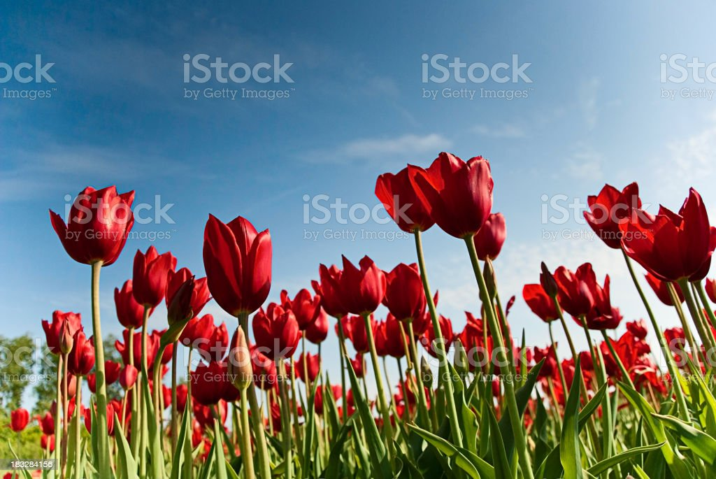 Red Tulips from below royalty-free stock photo