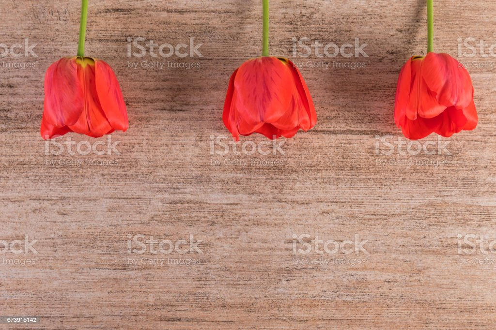 Red Tulips in a row above on light brown background. Minimalist style, copy space stock photo