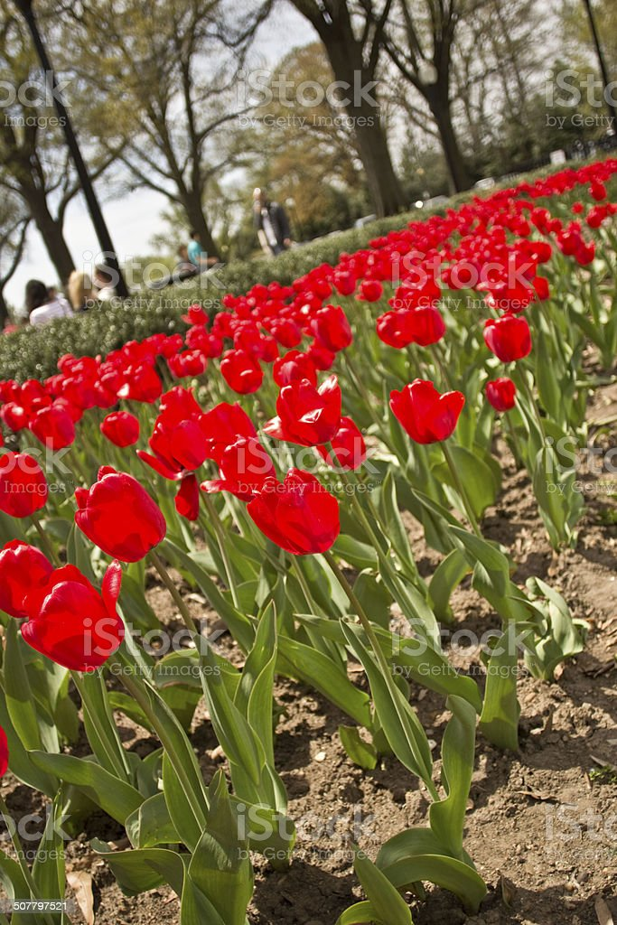 Red tulips in bloom stock photo
