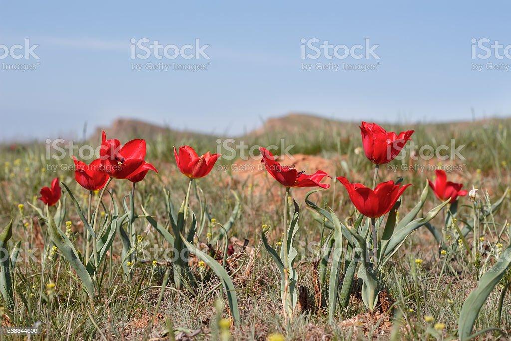 red tulips in desert near mount Big Bogdo. stock photo