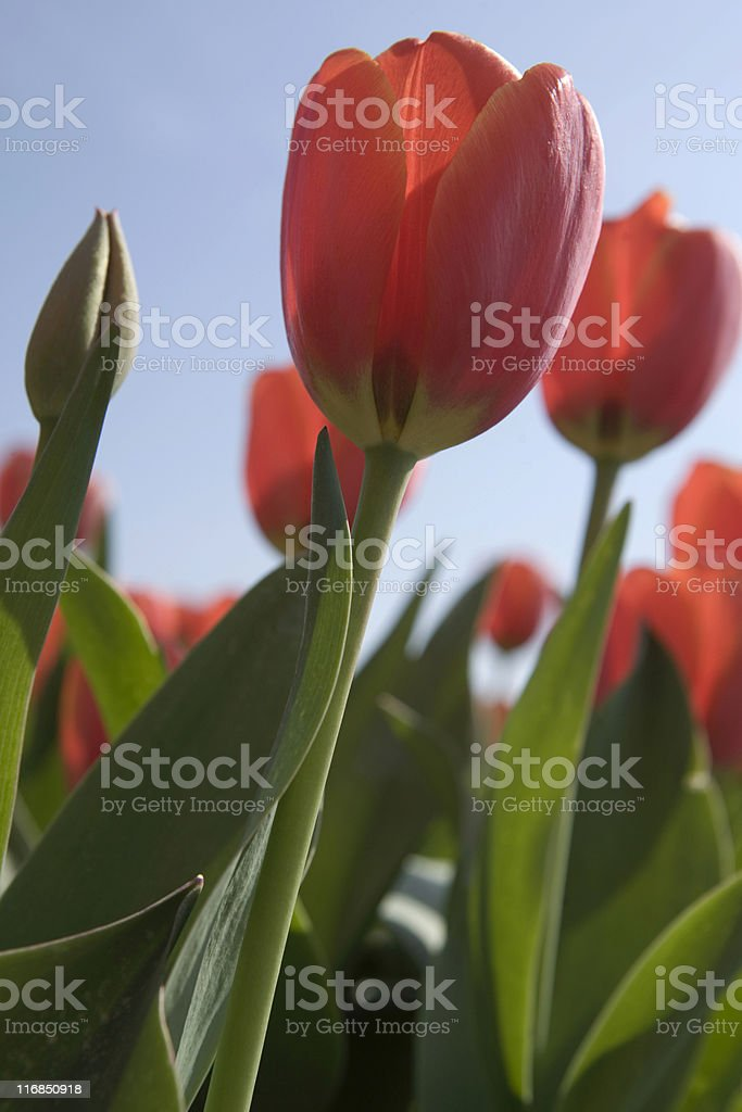 red tulips in full bloom stock photo