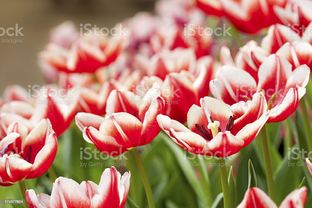 Red Tulips in garden royalty-free stock photo