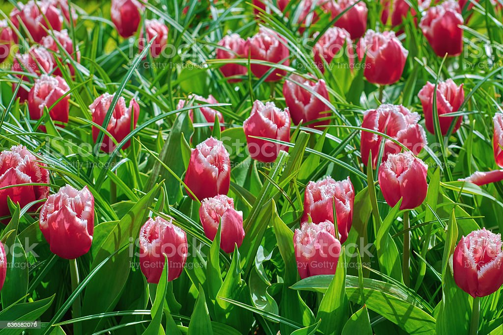 Red Tulips in Grass stock photo