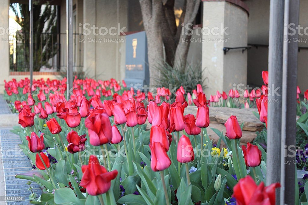 Red Tulips in Texas stock photo