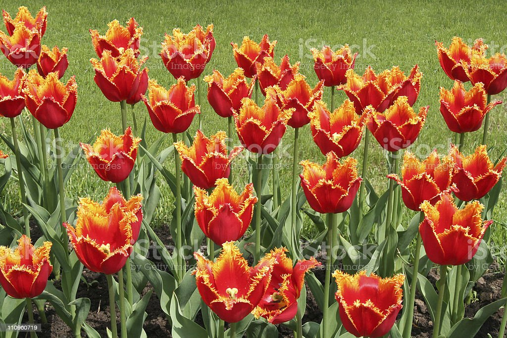 Red tulips in the park. stock photo