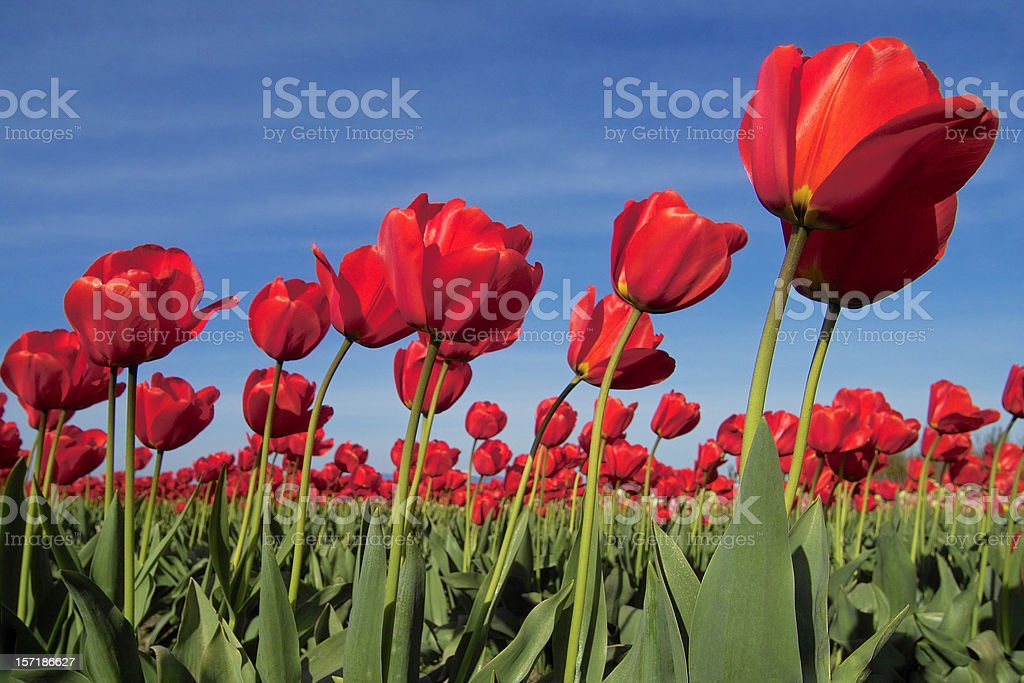 Red Tulips in The Wind royalty-free stock photo
