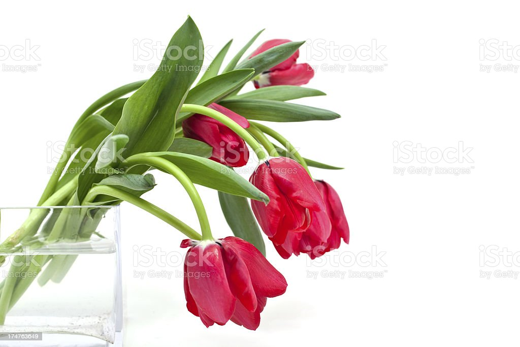 red tulips in vase royalty-free stock photo
