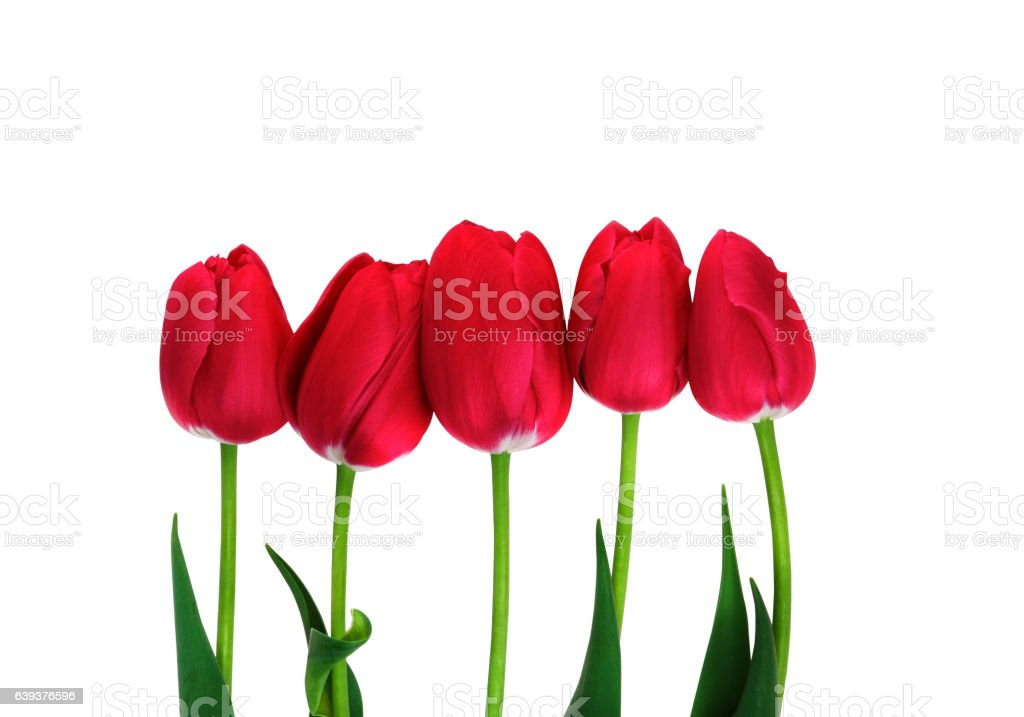 Red Tulips isolated. Five tulips on white with clipping path stock photo