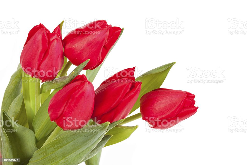Red tulips isolated on white background royalty-free stock photo