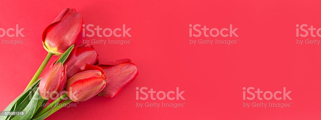 Red tulips on a red background stock photo
