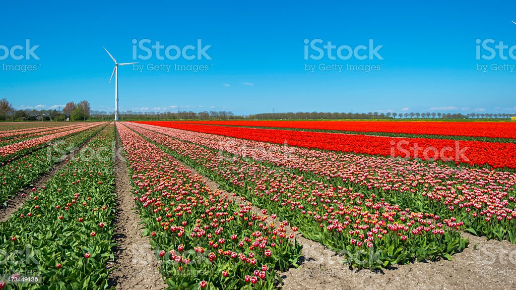 Red tulips on a sunny field in spring stock photo