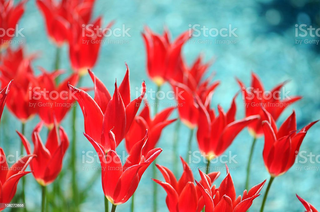 red tulips on turquoise background stock photo
