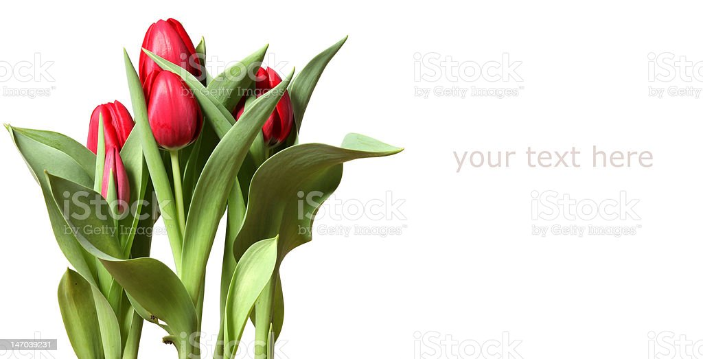 red tulips on white background royalty-free stock photo