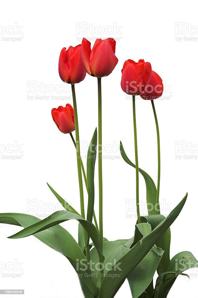 Czerwone Tulipany na białym zbiór zdjęć royalty-free