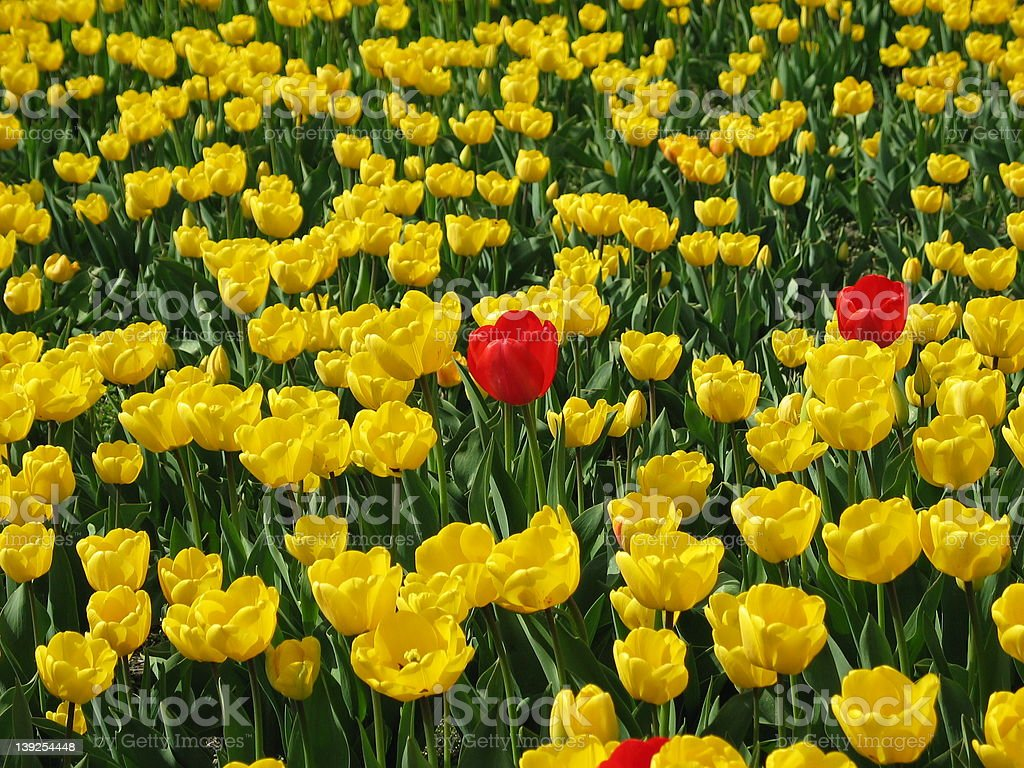 Red Tulips Outnumbered stock photo