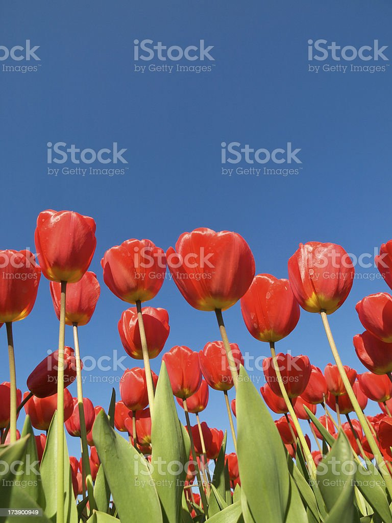 Red Tulips royalty-free stock photo