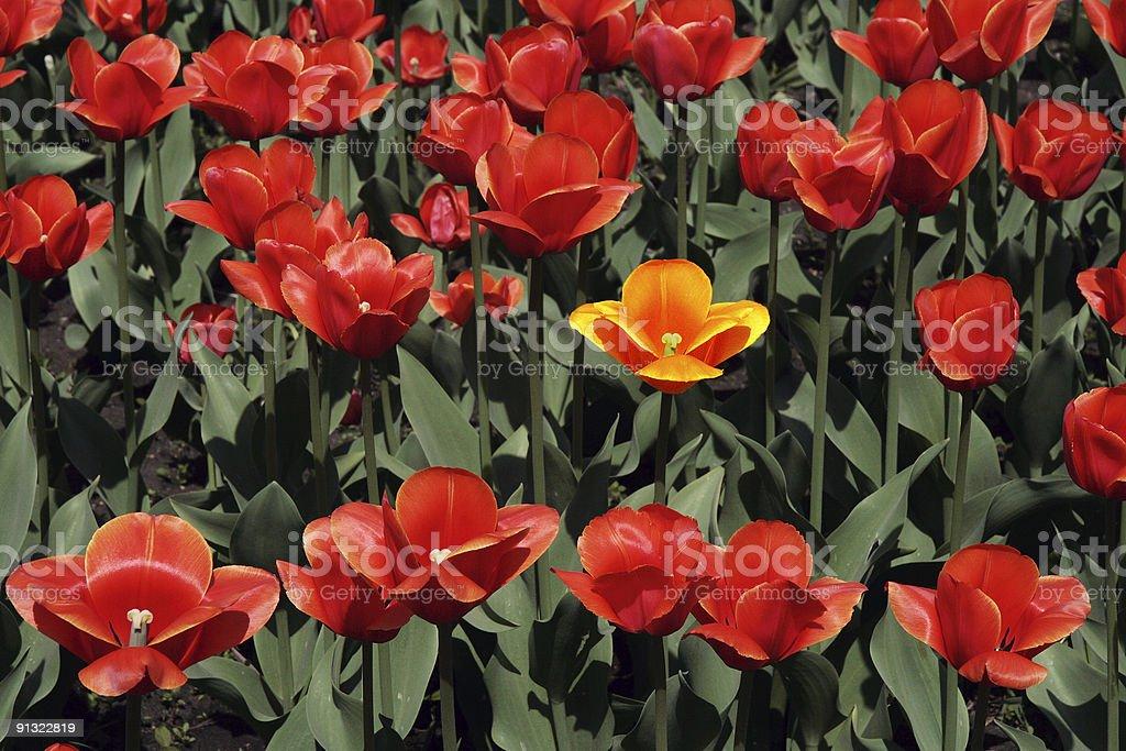 Red tulips. stock photo