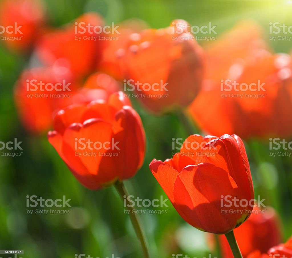 red tulips, very shallow focus royalty-free stock photo
