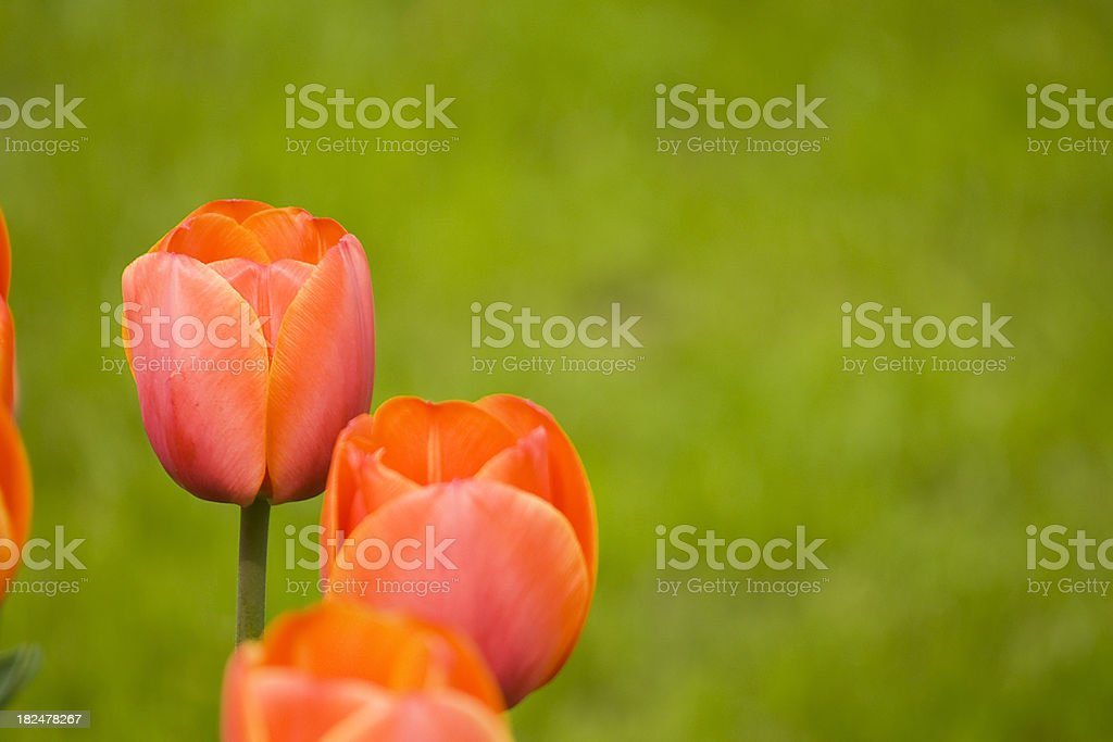 Red tulips with copy space stock photo