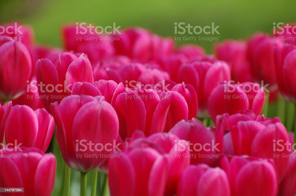 Red tulips with green background royalty-free stock photo