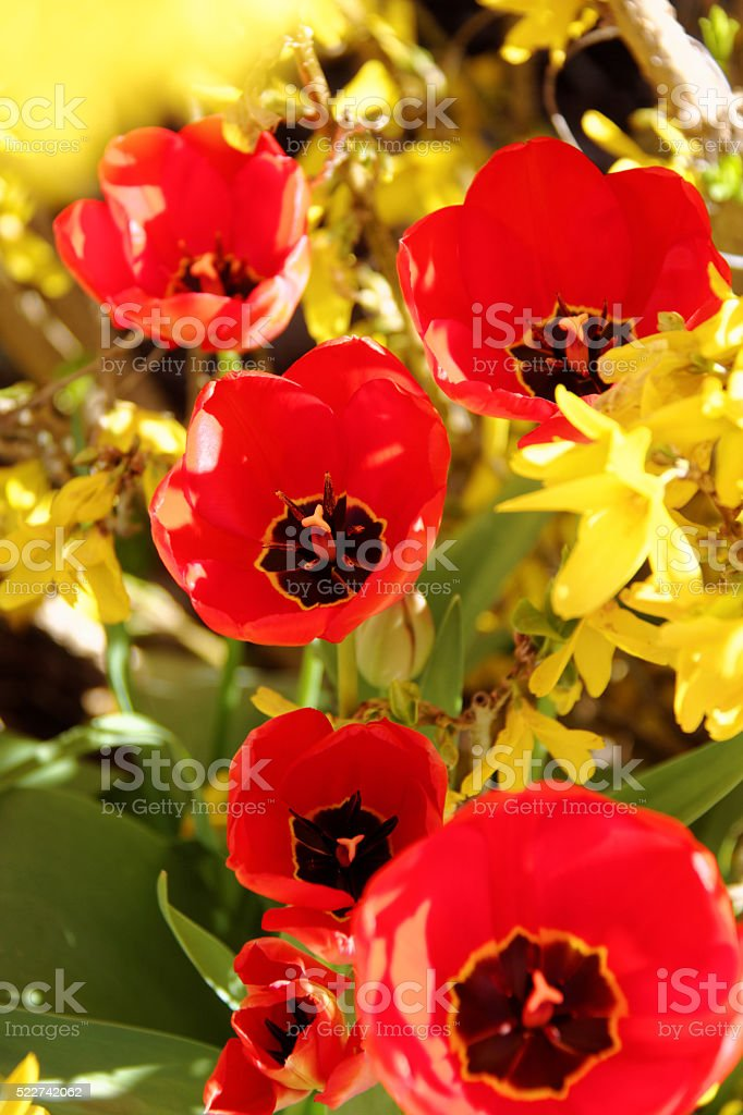 red tulips with open blossoms stock photo