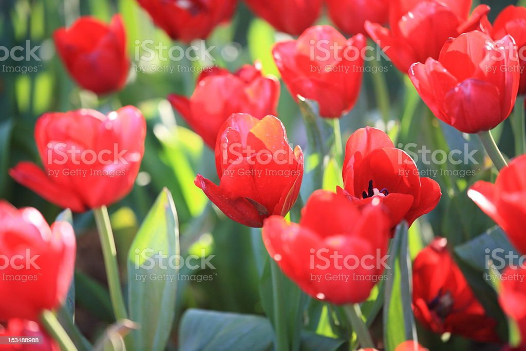 Red tullips. stock photo