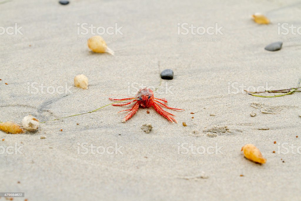 Red Tuna Crab on Beach stock photo