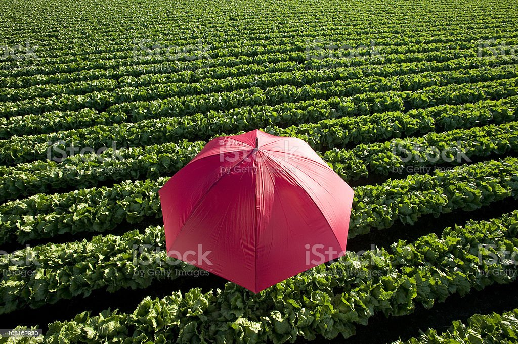 Red Umbrella in Lettuce Field royalty-free stock photo