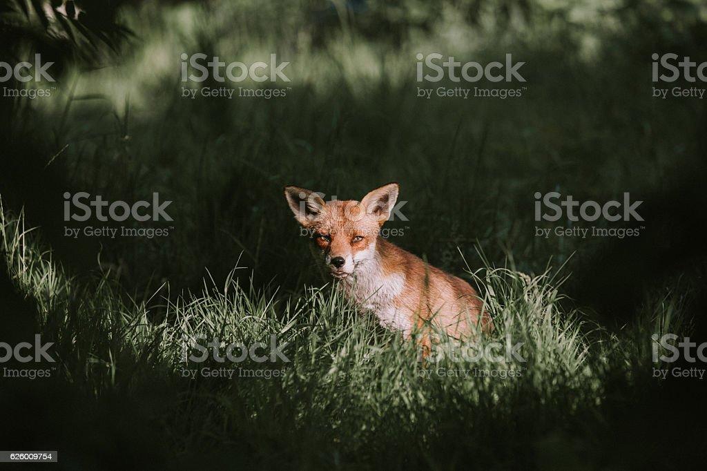 Red Urban Fox Hiding in Long Grass in Autumn Sunshine stock photo