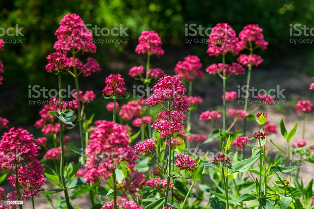 Red Valerian flowers in garden stock photo