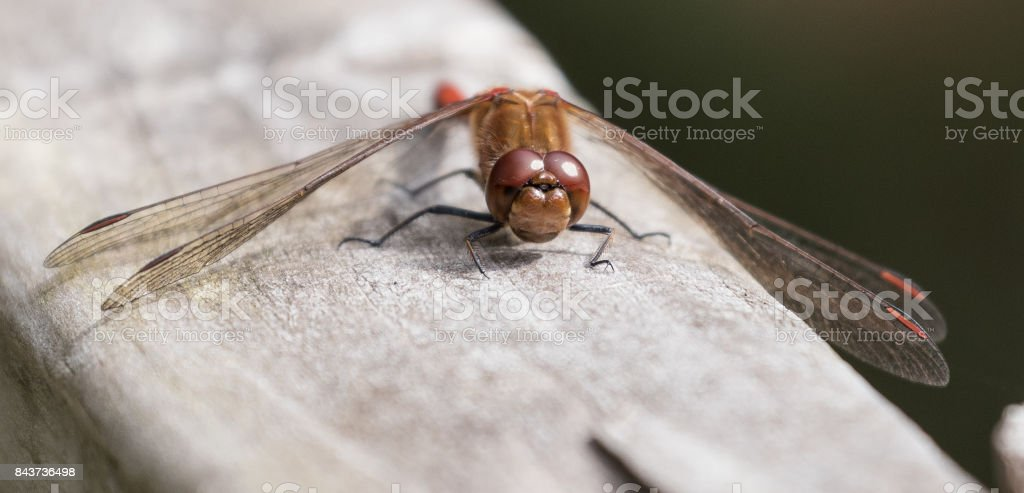 Red Veined Darter Dragonfly stock photo