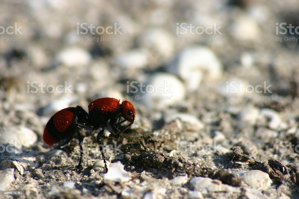 ant de vachette velours rouge Excellent photo libre de droits