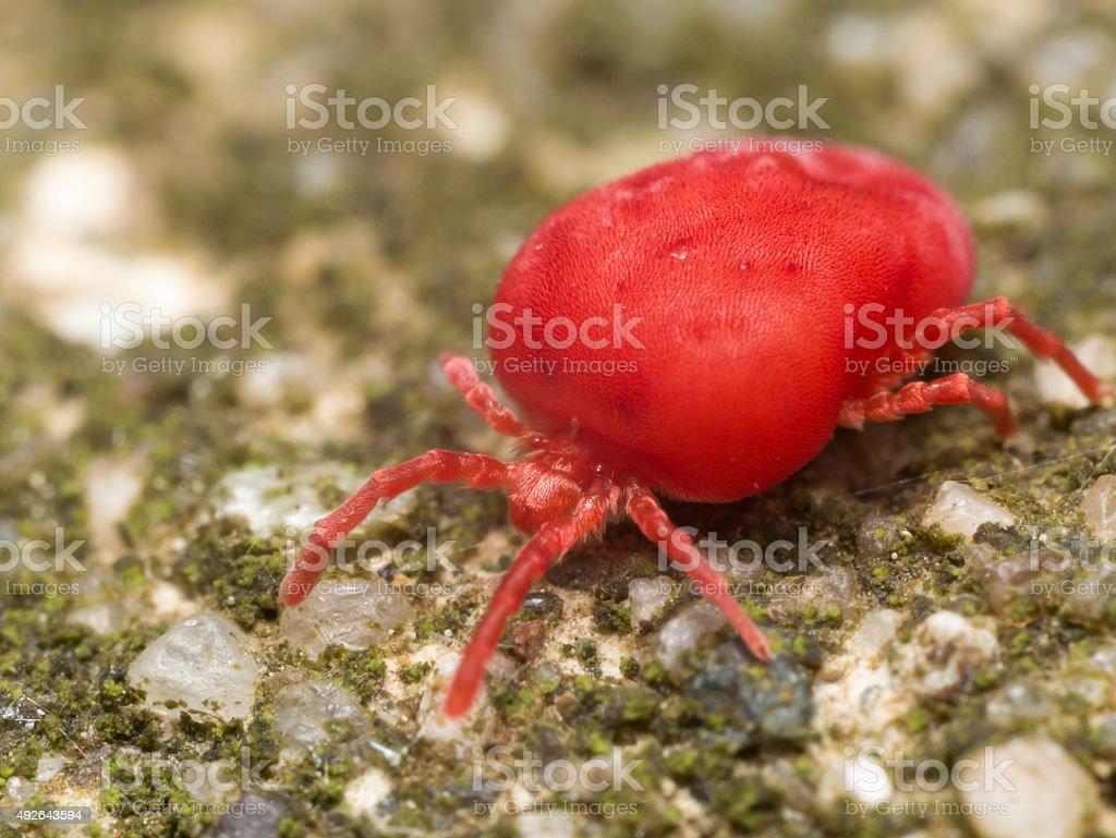 Red velvet mite on green surface stock photo
