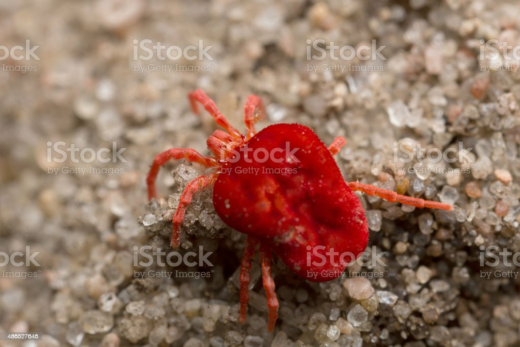 Red velvet mite on sand, high magnification stock photo