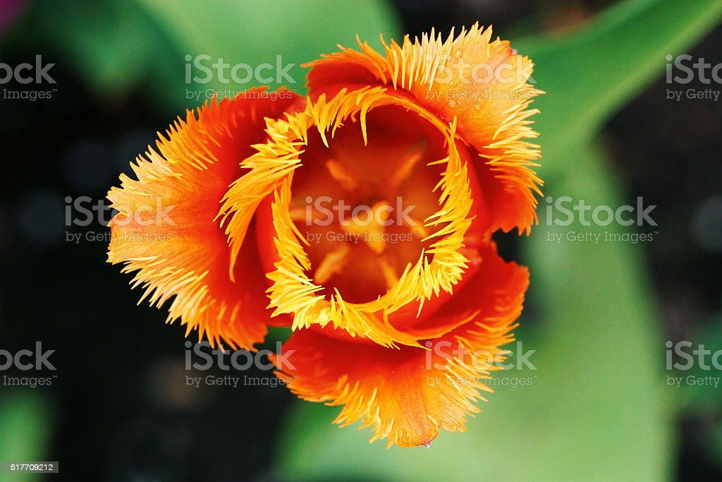 Red velvet tulip flower close-up stock photo
