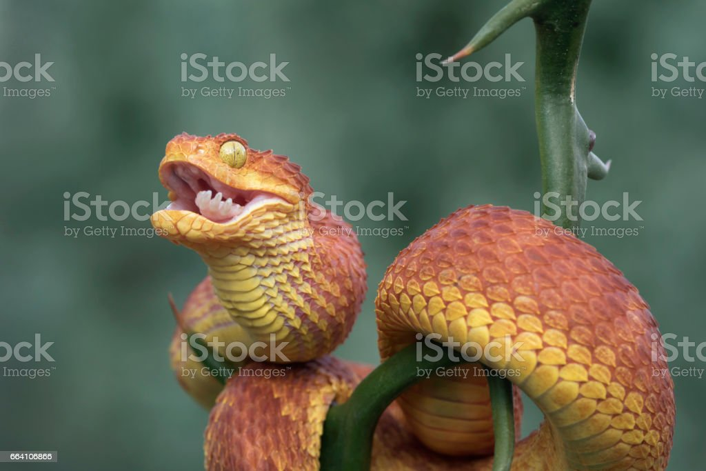 Red Venomous Bush Viper Snake with Foot of Rodent in Mouth stock photo