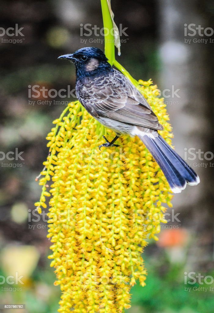 A Red Vented Bulbul feeding on a Cluster of Pritchardia Palm Fruit. stock photo