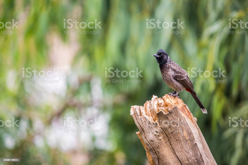 red vented bulbul on tree trunk stock photo