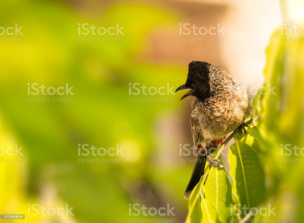 Red Vented Bulbul stock photo