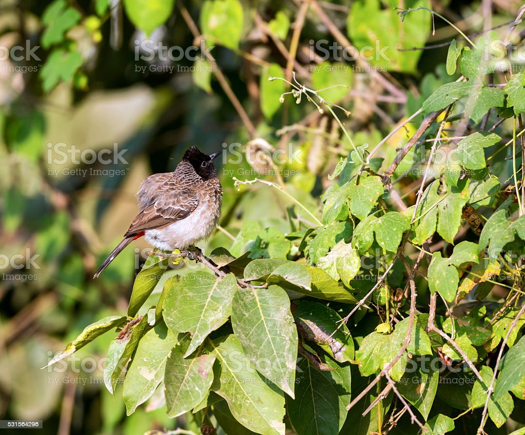 Red Vented Bulbul. stock photo