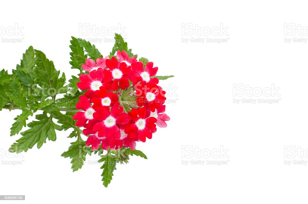 red verbena isolated on white background stock photo
