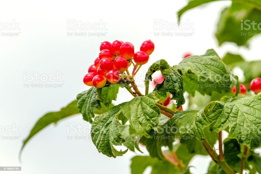 red viburnum berries ripen on a branch stock photo