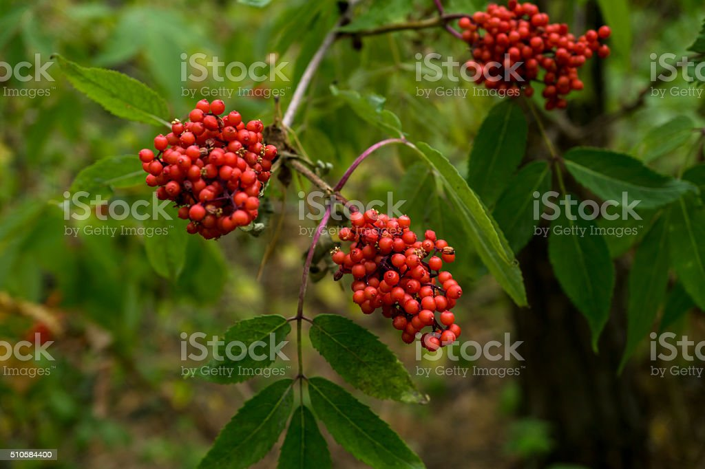 Red viburnum bush in the forest background stock photo